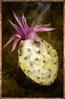 Boiled Cactus Fruit.png