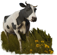 Cow sansbg.png