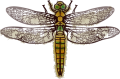 Illustration Dragonfly.png