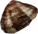 Clam3.png
