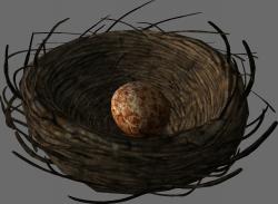 Bird's nest with a Pine Thrush egg