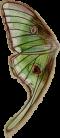 Illustration Mothwing.png