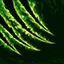Medusa Lacerate.png