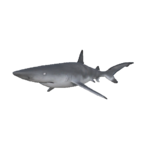 Black Tip Reef Shark.png