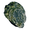 IconOyster.png