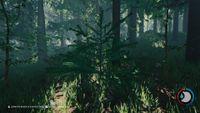 Pine sapling.jpg