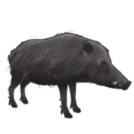 NatureGuideBoar.png