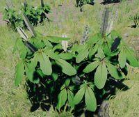 Bush cattail.jpg