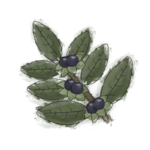 NatureGuideTwinberry.png