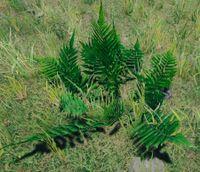 Bush fern.jpg