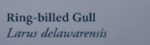 Red-billedGullNaturesGuide.png