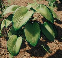 Bush hosta variegated.jpg