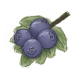 NatureGuideBlueberry.png