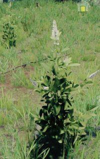 Bush whiteflower.jpg