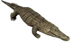 CrocodileFarket.png