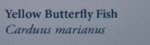 YellowButterFlyFishNaturesGuide.png