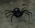 Black Soldier Spider (Enemy).png