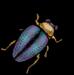 BeetleWhole.png