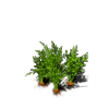 Plant Carrot.png