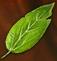 Substances Fools parsley leaves.png