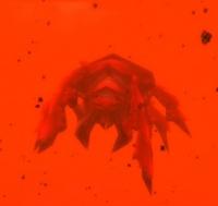 Image of Lava Scarab
