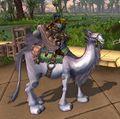 White Riding Camel.jpg