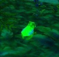 Image of Harlequin Frog