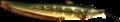 Ordoncatfish.png